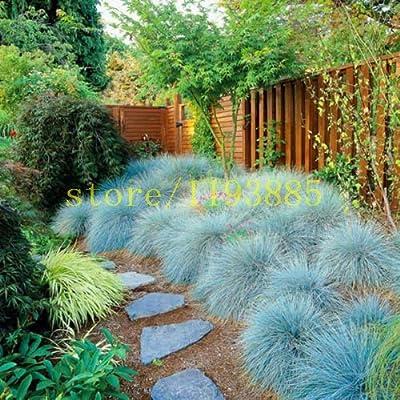 100 unidades semillas de hierba azul festuca Fesnea Glauca hierba ornamental semillas Las semillas de césped para los plantadores de marihuana crezca flor fácil