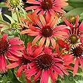 Sonnenhut Conetto Orange - großer Topf - Echinacea cultorum von Baumschulen bei Du und dein Garten