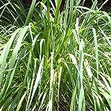 Vivai Le Georgiche Citronella Lemongrass (Cymbopogon Citratus) immagine
