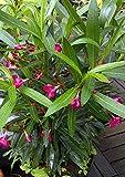 Oleander nerium oleander Rosenlorbeer tolle kräftige Pflanze 20cm pinke Blüten
