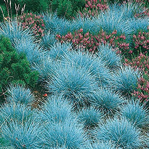 Semi di Festuca Blu Moresave Festuca Glauca Semi di Erba Bonsai Ornamentale Hardy Perenne, 200 Pz