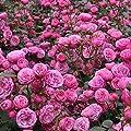Beetrose Pomponella - Topfrose Buschrose im 4 Liter-Topf von Kordes Rosen - Du und dein Garten