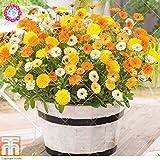 100 piezas Calendula officinalis Semillas Semillas hermosas flores de plantas de interior Bonsai Perenne flor para jardín fácil de cultivar