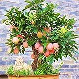 Portal Cool Dwarf Bonsai Apfelsamen Baum Malus Fruit Guava Red Annona Guajava Domestica