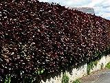 Frostharte Blutbuche Fagus Sylvatica purpurea ca. 80 cm Höhe in verschiedenen Mengen (10)
