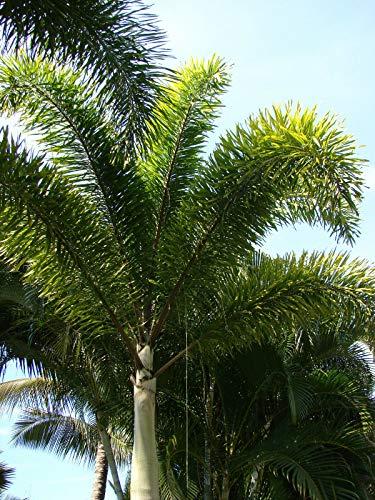 Fuchsschwanzpalme Wodyetia bifurcata Pflanze 20cm sehr seltene Palme
