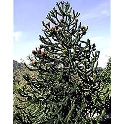 Future Exotics Araucaria araucana Schmucktanne Andentanne winterhart