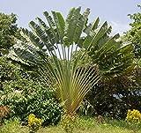 Baum des Reisenden - 10 Samen