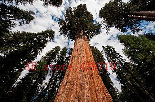 100 PCS rares graines de séquoia géant, croissance rapide, les graines d'arbres rares pour la décoration de jardin cadeau de la nature