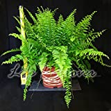 Easy Plants–felce casa pianta in vaso con Metallic Interweave Line decorazione, 17cm Metallic Interweave Line Pot