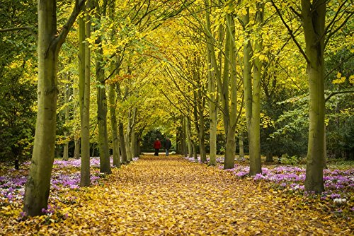 Ian Cumming / Design Pics – Couple Walking Along Avenue Of Beech Trees; Anglesey Abbey Cambridgeshire United Kingdom Photo Print (45,72 x 30,48 cm)