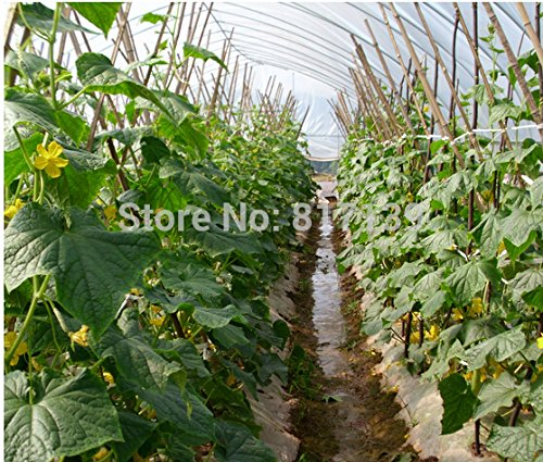 Nouvelle arrivée jardin 20 planter des graines NATIONAL PICKLING CONCOMBRE Cucumis Vegetable Seeds
