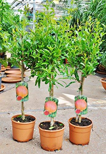Palmenmann Granatapfel (Grenadine) - Punica granatum