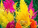 1000pcs Miniregenbogen Pampasgras (Rush Lauf), Reed-Schalter, Grassamen, Bonsai-schöne Blumensamen Topfpflanze für Hausgarten