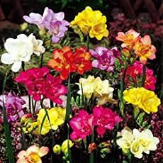 Freesia Flower Bulbs Mixed (7 Bulbs in Each Pack) One of The Most Popular Flower Bulbs for Rain and Winter Seasons by Kriti Kalash