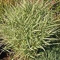 Buntes Rohr-Glanzgras (Phalaris Arundinacea 'Picta') von Lichtnelke Pflanzenversand auf Du und dein Garten