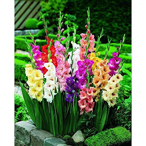 100Mixed Gladiolen Leuchtmittel/Vermehren gemischte Sorten Mehrjährige Sommerblume Hervorragende bieten