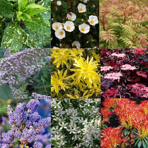 mixed-plant-collection-of-5-established-shrubs-in-9cm-pots-quality-garden-shrub-plant