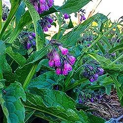 WuWxiuzhzhuo 100Medizinische Heilkraft Kräuter Beinwell Samen, Garten Yard Pflanze 1