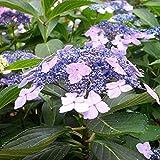"Hydrangea serrata ""Blue Bird"" (Ortensia) [Vaso Ø24cm]"