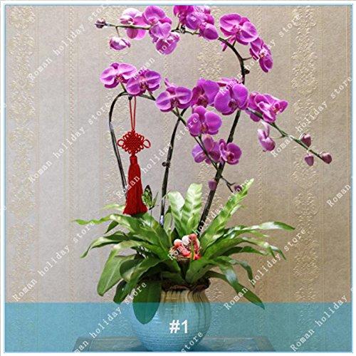 Galleria fotografica ZLKING 100 Pz rari Seeds Bianco Viola Phalaenopsis Orchidee Fiore Bonsai naturale in rapida crescita esotiche piante da fiore Pot stand 1
