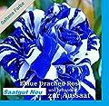 20x Blaue Drachen Rose weiß blaue Streifen Saatgut Blumensamen Samen Pflanze Rarität Garten Blumen Rosen Neuheit #112 von Samenhandel Ipsa Import und Handel auf Du und dein Garten