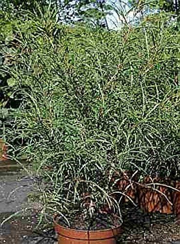 Baumschule Anding Schlitzblättriges Pulverholz Rhamnus frangula - Asplenifolia - 40-60 cm