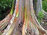 1000 Samen Regenbogen Eucalyptus - Eucalyptus deglupta - **Das Naturwunder**