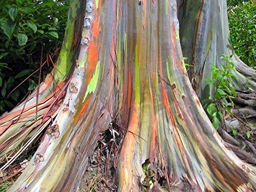 ★ ★ ★ Regenbogen Eukalyptus 30 Samen ★ ★ ★ - Eucalyptus deglupta -