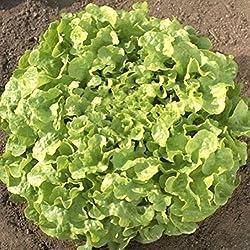 Portal Cool Oakleaf Salat Samen, Blattsalat Samen, Fleischsalat Samen, Nicht-GVO-100CT