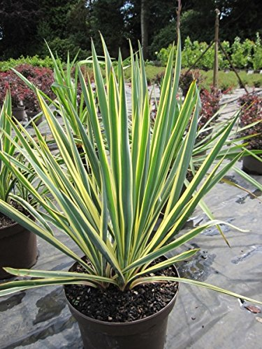 Yucca filamentosa Bright Edge - Palmlilie Bright Edge