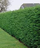 Leylandii Zypresse - Heckenpflanze - Cupressocyparis leylandii - verschiedene Größen (145cm - 4 Ltr.)