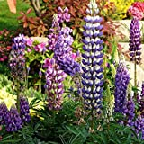 Bornbayb 100 Stücke Wilde Mehrjährige Lupine Samen Zierpflanzen Blumensamen Mischfarben