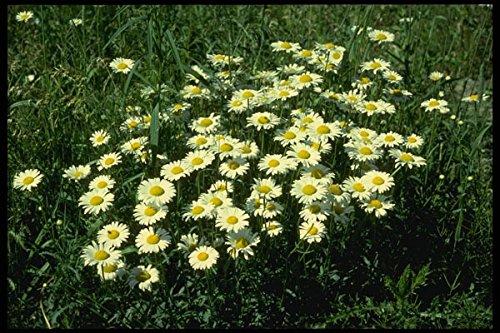 127034 Ox Eye Daisy (Leucanthemum Vulgare) A4 Photo Poster Print 10x8 (Ox Eye Daisy)