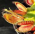 Starter-Set Kleiner Hunger - Fleischfressende Pflanzen von Fangblatt enthält je eine Pflanze der Venusfliegenfalle, Sonnentau und Schlauchpflanze von Fangblatt bei Du und dein Garten