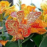 Portal Cool 10 Samen: Canna Lily Cleopatra, der Eine mit den vielen Gesichtern 10, 50, 100, 500, 1000 Samen