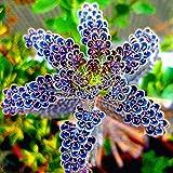 Kalanchoe Delagoensis 100 Samen Sukkulenten - Leicht zu überleben, Starke Fortpflanzungsfähigkeit