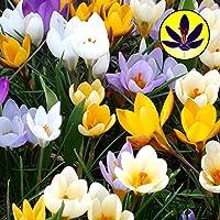 CROCUS SPECIES MIXED SMALL FLOWERING DWARF HARDY SPRING FLOWERS BULBS (50)