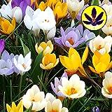 Krokusse – kleine Zwerg-Blumenmischung