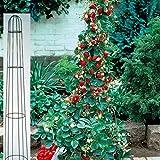 Dominik Blumen und Pflanzen, Erdbeer-Bäumchen