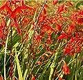 Garten Monbretie Lucifer - Crocosmia masoniorum von Baumschule bei Du und dein Garten