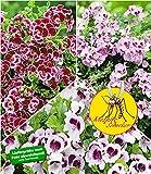 BALDUR-Garten Duft-Geranie'Moskito-Schocker', 3 Pflanzen Geranien Pelargonium crispum