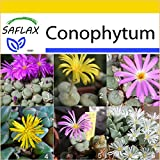 SAFLAX - Anzucht Set - Sukkulenten - Blühende Steine / Conophytum Mix - 40 Samen - Conophytum Mix
