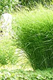 Chinaschilf Gracillimus - Feinhalm Chinagras - Miscanthus sinensis Gracillimus (11 cm-Topf)