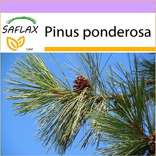 SAFLAX - Goldkiefer - 20 Samen - Pinus ponderosa