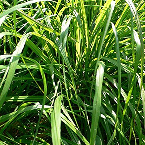 clifcragrocL 1000 Pz Semi di Lemongrass Cymbopogon Flexuosus Pianta, Semi di Bonsai Semi di Fiori Semi di Piante Semi di Erba per Home Office Garden Decor Semi di citronella