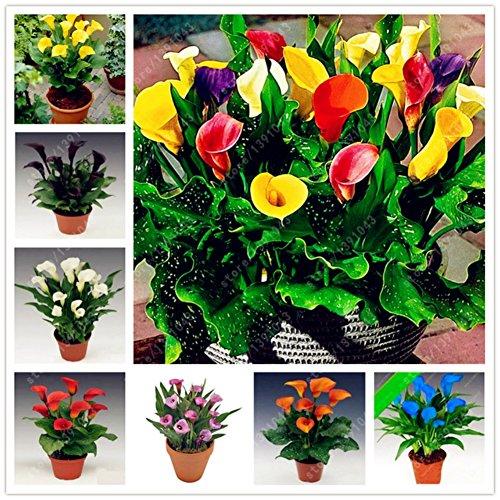 Shiningup 100 Pièces Calla Lily Graines De Fleurs Rare Coloré Maison Jardin Plantes Graines DIY Bonsaï