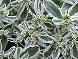 """Wolfsmilch, Bergschnee,Schnee-auf-dem-Berg, (Euphorbia marginata) """"Summer Icicle""""20 Samen"""