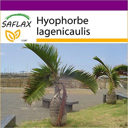SAFLAX - Big Garden - Flaschenpalme/Faßpalme - 3 Samen - Hyophorbe lagenicaulis