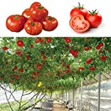25pcs Seeds Sweet Huge Tree Tomato Fruit Vegetable Seed Home Garden Plant